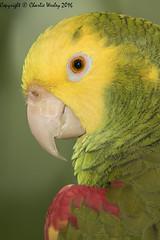 Bad Boy (wesjr50) Tags: staugustinealligatorfarm staugustineflorida birds amazonparrot canon 7d mk ii canonef500mmf40isusm flash better beamer naturewildlife dxoopticspro photoshop portrait captive