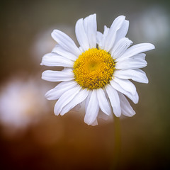 Shasta Daisy (aveyardphotography) Tags: daisies shasta daisy flower focus large petals shallow soft white