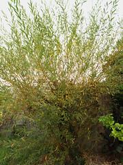 Salix viminalis (Mimbre) (juan_y_ana) Tags: salix viminalis mimbre