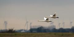 Whoopers (pstani) Tags: cygnuscygnus england norfolk uk welney wildfowlandwetlandstrust bird swan whooperswan