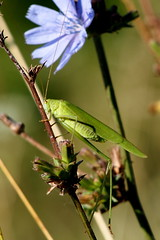 zld lombszcske / Great Green Bush-Cricket (debreczeniemoke) Tags: nyr summer rt meadow rovar insect insecta zldlombszcske greatgreenbushcricket grandesauterelleverte grneheupferd grosesheupferd cavallettaverde cosaverde tettigoniaviridissima frgeszcskeflk tettigoniidae olympusem5