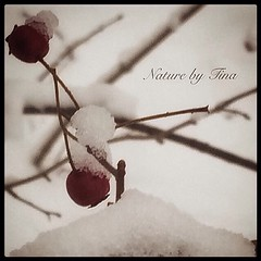 Denmark Winter (NaturebyTina) Tags: naturephoto photo frozen snow cold tree nature berries odense fyn denmark winter