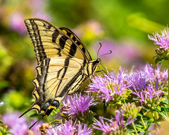 Western Tiger Swallowtail (cbjphoto) Tags: carljackson papiliorutulus photography swallowtail tiger western butterfly central huntingtonbeach insect park