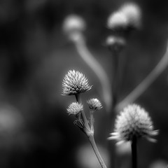 Summer Wildflowers 022 (noahbw) Tags: d5000 dof nikon abstract blackwhite blackandwhite blur bw flowers forest hellernaturecenter landscape light monochrome natural noahbw prairie square summer woods