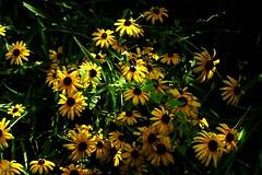 Yellowness (damjangosak) Tags: yellow flowers flower nature colors colorfull garden blackbackground harshlight summer compactcamera sonyhx60v