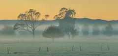 Treeline (zebedee1971) Tags: farmland farm pasture fence landscape fog frost grass trees sky dawn sunrise orange hedge dairy cows waikato hamilton