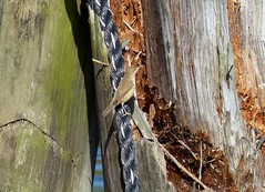 Sumpfrohrsnger , NGIDn32544713 (naturgucker.de) Tags: ngidn32544713 naturguckerde sumpfrohrsngeracrocephaluspalustris zingst hafenmggenburg carmindreisbach