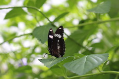 Butterfly Era (Josiedurney) Tags: august amsterdam holland 2016 tourist holiday travel city capital summer hortusbotanicus horticulture glass glasshouse greenhouse palmhouse plants green trees flowers butterflies butterfly bark pattern nature life