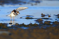 Common Ringed Plover (Ady G.) Tags: ringedplover shorebird 1d4 500f4 canon weymouth ferrybridge
