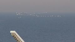 Lepelaars (kiekjesdief.nl/vogels) Tags: lepelaar