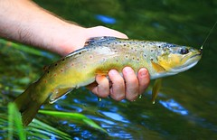 brown trout in Winneshiek Co. IA 854A8427 (lreis_naturalist) Tags: brown trout winneshiek county iowa larry reis