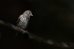 Female Siskin (ToriAndrewsPhotography) Tags: female siskin bird finland photography andrews tori