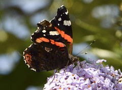 feeding red admiral 242/365 (#christopher#) Tags: redadmiral butterfly buddliea flower blossom floraandfauna