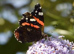 feeding red admiral 242/365 (#christopher#) Tags: redadmiral butterfly buddliea flower blossom floraandfauna