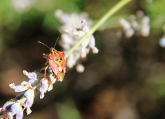 Ode to an Omen (mikkelfrimerrasmussen) Tags: skull beetle lavendel lavender provence provencealpescote paca cruis macro makro