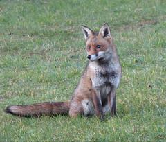 Fox (Peanut1371) Tags: fox mammal brown white tail nationalgeographicwildlife