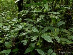 Psychotria fusiformis or marginata? Rubiaceae (Ecuador Megadiverso) Tags: andreaskay ecuador amazon flower pastaza puyo rainforest rubiaceae ursula psychotriafusiformis psychotriamarginata