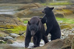 Red and her cub. (rs) (Blingsister) Tags: americanblackbear blackbear bears blackbearandcub femaleblackbearandcubstanding bear blingsister melanieleesonwildlifephotography canon7dmarkii canonef100400mmf4556lisiiusm14xiii northernvancouverisland