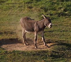 ASINO ! (Fabio Prosperi) Tags: asino somaro ciuco animale animali animals animalidomestici campagna donkeys buridano