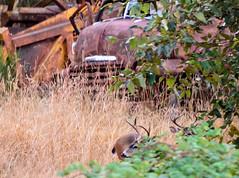 The Untouchables (BrettLarson51) Tags: 2016 backyard buck deer olympia washington unitedstates