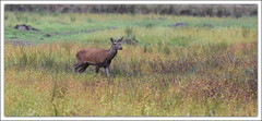 Daguet (guiguid45) Tags: nature sauvage animaux mammifres cervids fort loiret fortdorlans cerf cervuselaphus cerfelaphe brame d810 nikon 500mmf4