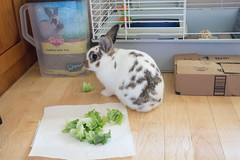 Cordelia (Cheezylu) Tags: aear cordelia rescue shelter foster rabbit