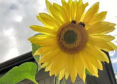 Sunflower & Bumble Bees (gerry.bates) Tags: nature flora insect flower bee bumblebee bombus garden britishcolumbia bc canada canon sunflower helianthus petals leaf inflorescence flowerhead rayflowers diskflowers florets fibonaccipattern patternsinnature yellow