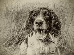 Mollie (Missy Jussy) Tags: mollie pets animal dog springerspaniel england englishspringer grass field cromptonmoor shaw oldham lancashire portrait dogportrait dogwalk canon canonpowershotsx60 sepia monochrome