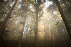 gold - Olympus PEN-F (Andreas Voegele) Tags: olympus olympuspenf penf pen andreasvoegelephoto landscape sun light color forest trees fog gold search landschaft