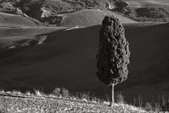 Cypress (hbothmann) Tags: zypresse cypress toskana tuscany toscana cretesenesi cyprs cyprs cupressus  cypressslktet  landschaft landscape schwarzweis