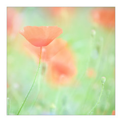 Poppies (gerainte1) Tags: poppies flowers colour multiexposure red green