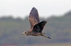 Night Heron Juvenile (rumerbob) Tags: nightheronjuvenile nightheron heron nature wildlife wildlifephotographer oceancitynj waterbird canon7dmarkii canon100400mmlens