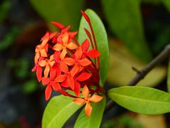 Ixora Coccinea - EXPLORE (Kazooze) Tags: explore flower ixoracoccinea redflowers nature kailuakona hawaii bokeh
