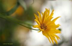 La fin de l't - End of summer (Une femme ...) Tags: fleur flower daisy jaune yellow bokeh marguerite