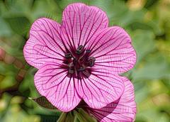 JewelGeraniumDream (Brenda Dobbs) Tags: manipulated manipulation dreamscope distorted flower blossom plant nature geranium