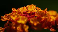 Reaching For The Sun (jrussell.1916) Tags: flowers lantana redgoldlantana nature red gold yellow illuminated sunlight macro canonef100f28lis