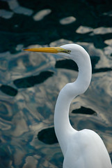 _DSC1317.jpg (cy-photography) Tags: wind neck sharp nature water flying beauty look animal pure wild bent feathers aviary curve profile scurve greategret aviain beak birds egret side head beautiful great eyes wings wing animals elegant bird flight white