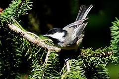 Black-capped Chickadee (--Anne--) Tags: bird birds nature wildlife animals tree trees spruce pine chickadee blackcappedchickadee