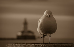 The Harbormaster (Carl's Captures) Tags: seagull gull laridae bird harbormaster chicagoharborlighthouse chicagoillinois cityofchicago lakemichigan thegreatlakes sepia selectivefocus dof dawn sunrise morninglight landscape wildlife seascape cityscape thewindycity chitown cookcounty downtown lightroom5 tamron182703563diiivcpzd nikond5100 summer july navypier shoreline lakeshore watching vigilant vigilance watchman sentinel monochrome cabadil