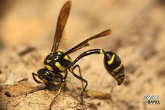 Potter Wasp (cyy4993) Tags: potterwasp vespidae phimenesflavopictusformosanus  wasp insect insectphotography cyy4993 canoneos6d canonef100mmf28lisusm canonex430ii