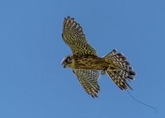 Merlin Falcon (davidrhall1234) Tags: falcon merlinfalcon feather flight falconry pembrokeshirefalconry pembrokeshire carewcastle castle birds bird birdsofbritain birdsofprey wildlife world nature nikond7100 nikon