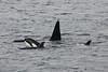 Killer Whale Orcinus orca (Hugh Harrop Wildlife Photography) Tags: uk scotland killer whale whales orca shetland orcinus