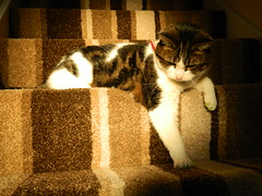 Lola Swiping Shadows (andijrae) Tags: family light pet pets brown cute texture animals stairs cat pose carpet furry nikon feline shadows natural south yorkshire kitty andrew indoors shade bolton rae tones amateur andi upon barnsley rotherham dearne collpix