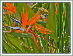 Bird of Paradise Flower (Dora-A) Tags: trees light flower color green bird nature beautiful photography israel daylight spring colorful paradise mediterranean day view bright country north picture middleeast galilee scene panasonic foliage holyland hdr mideast blooming flourishing גליל גן חרמון ציפור עדן hulavalley ציפורגןעדן doraa dmcfz150 northernkingdomofisrael