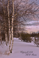 Winterscape with White Birch Trees During Sunset at Mill Creek Marsh in Secaucus NJ (Meadowlands) (takegoro) Tags: trees winter snow creek golden marsh magic nature sunrise meadowlands mill nj hour secaucus winterscapelandscapebirch