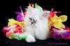 Les Persans de Fannie (Les Persans De Fannie) Tags: cats pets fleurs cat persian chats kitten chat chinchilla animaux fannie hawai chaton chatons persan