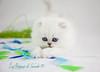 Les Persans de Fannie (Les Persans De Fannie) Tags: cats pets cat persian chats kitten chat couleurs chinchilla animaux fannie plumes chaton chatons persan