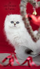 Les Persans de Fannie (Les Persans De Fannie) Tags: cats pets love cat rouge persian chats kitten chat heart coeur chinchilla fete animaux fannie chaton chatons stvalentin persan