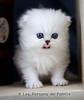 Les Persans de Fannie (Les Persans De Fannie) Tags: cats pets rose cat persian chats kitten chat chinchilla animaux fannie langue chaton chatons persan