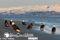 Bald Eagles on beach Tekiela KJ7I0764 (Stan Tekiela's Nature Smart Wildlife Images) Tags: ocean winter wild copyright snow mountains beach nature birds animals eagle hawk critter wildlife birding feathers images raptor owl falcon stockphotos predator professionalphotographer avian birdsofprey digitalimages stockimages predators naturalist stockimage baldeaglehaliaeetusleucocephalus stantekiela allrightsreservered naturesmartwildlifewordsandimages